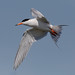 Forster's Tern Fishing by tresed47