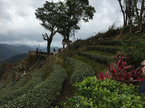 Sculpted rows of tea trees. From Travel to Asia: A new understanding–Taiwan Tea