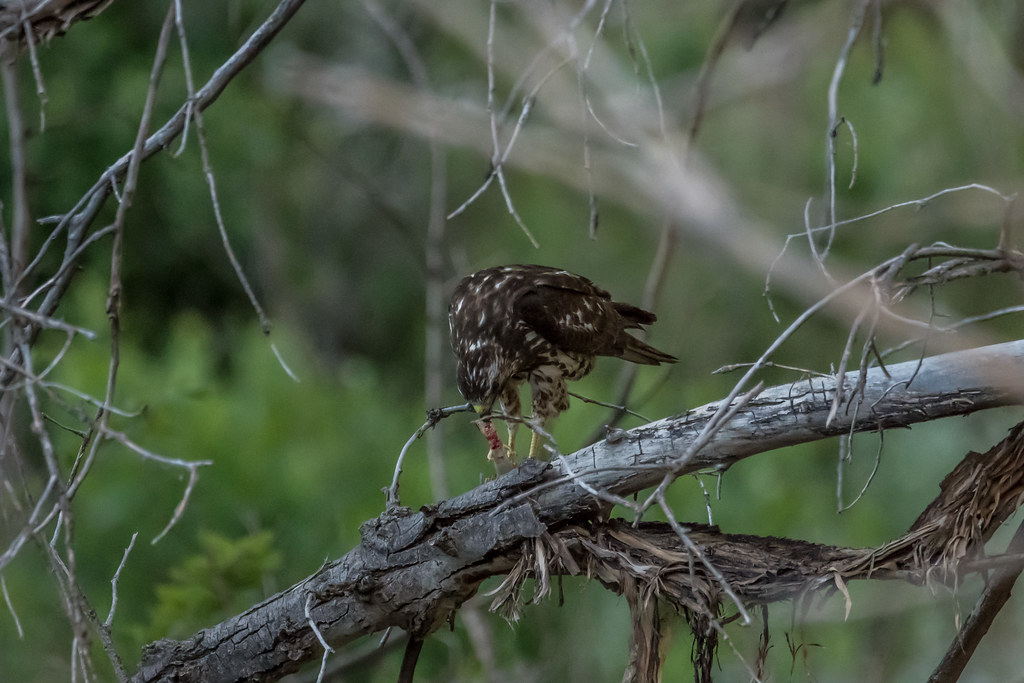 Sharp-shinned Hawk eating a Great-plains Skink-8