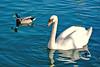 Auf dem Lago die Garda, ein schönes Paar, (Schwan bestimmt eine Sie)