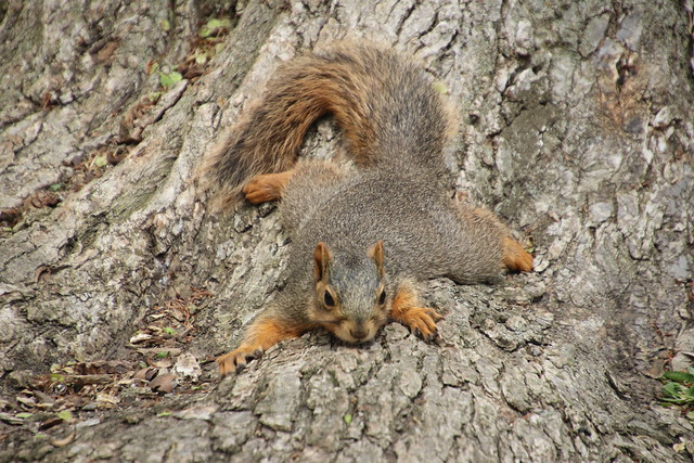 339/365/3991 (May 16, 2019) - Juvenile & Adult Fox Squirrels on Spring Days at the University of Michigan - May 15th & 16th, 2019