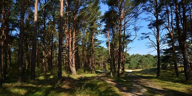 Peenemünde - Pine Forest