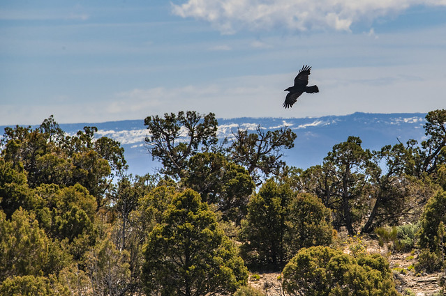 Crow - Colorado National Monument, Colorado