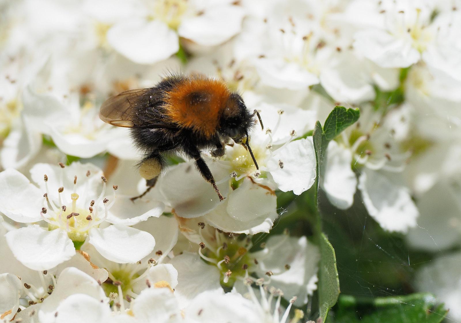 Bee sp.?