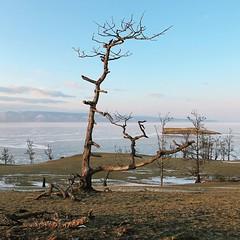 關於樹幹,薩滿教有很多神靈傳說,據說薩滿出生前的靈魂會像省鳥般,坐在樹幹上等著出生,泛靈信仰就係咁神奇魔幻。 【浪遊旅人】http://bit.ly/1zmJ36B #bacpackerjim #religion #shamanism #shamantree #tree #hotel #MelodiaOlkhona #lake #baikal #khuzhir #irkutsk #Ирку́тск #siberia #russia #россия #北途三國貝加爾