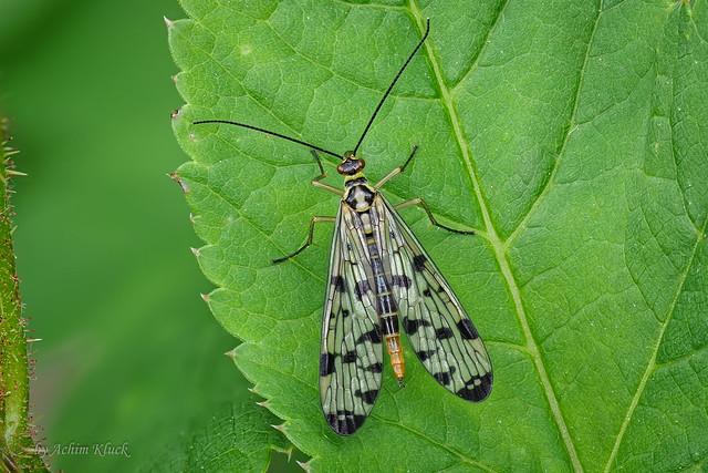 Deutsche Skorpionsfliege (Panorpa germanica) - Weibchen