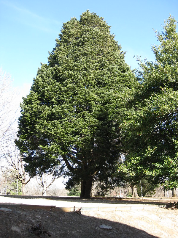 Abies cephalonica Greek Fir