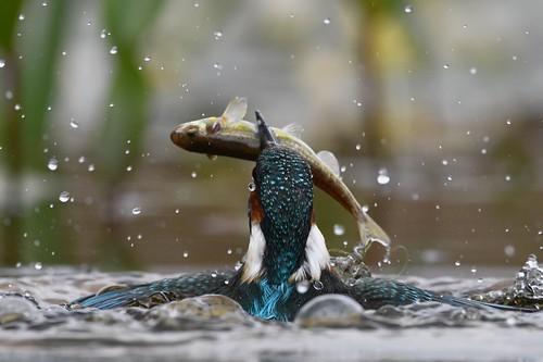 Shy kingfisher