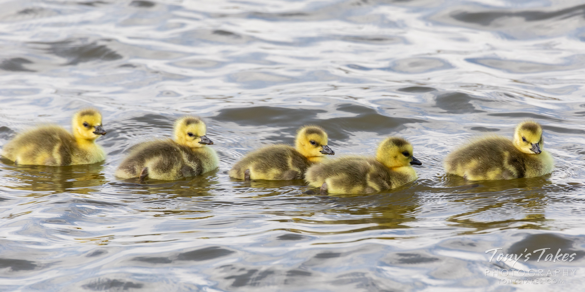 Newborn goslings out for a swim