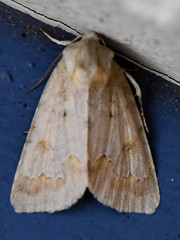 Birch dagger moth