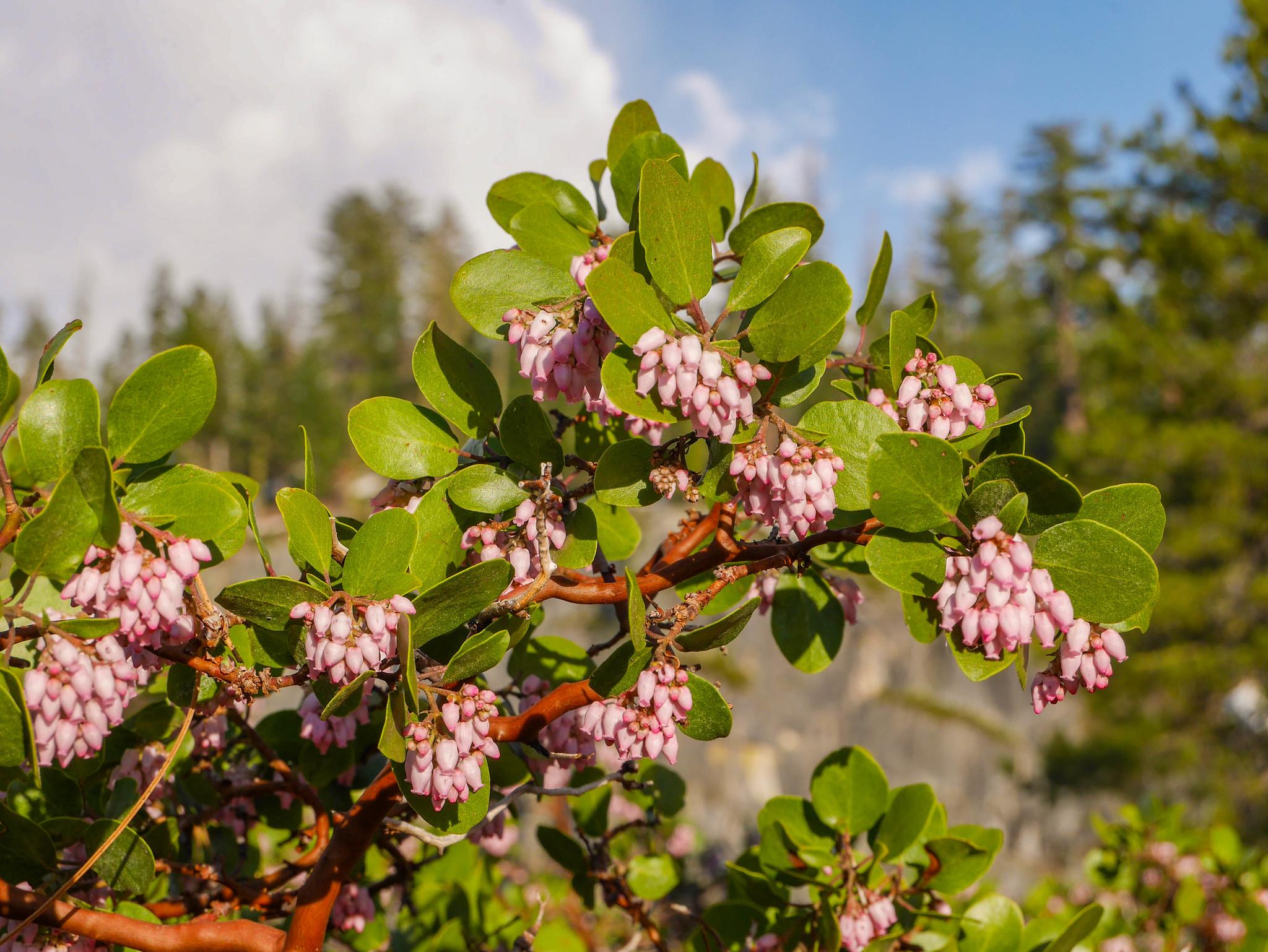 Blooming Manzanita