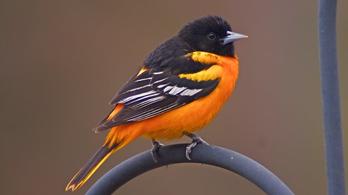 2019-05-16-Oriole-1 | by normhead