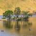 Canada geese, Crumock Water