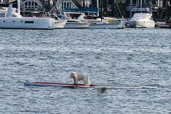 Paddleboard Dog Solo