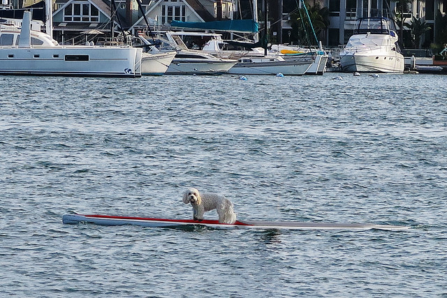 Paddleboard Dog Solo