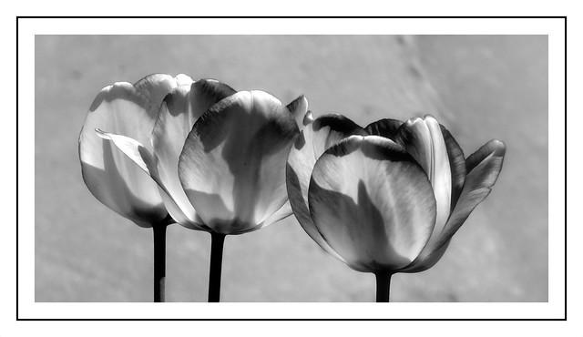 Tulipany B&W.