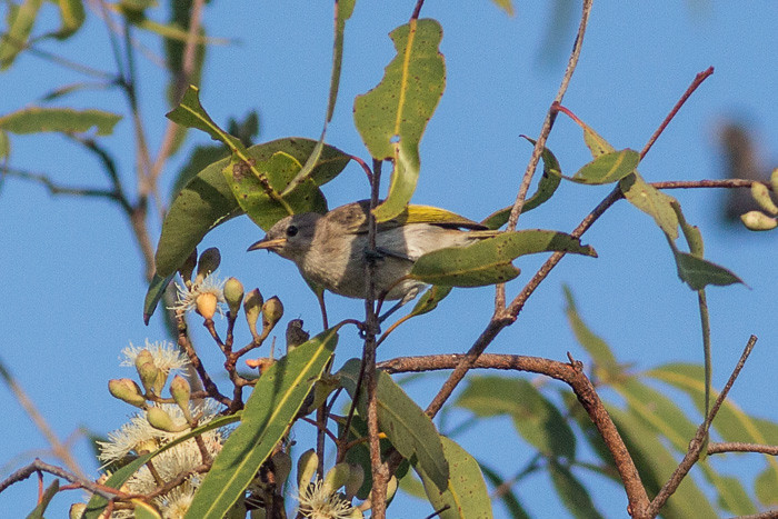 Rufous-throated Honeyeater  - juvenile
