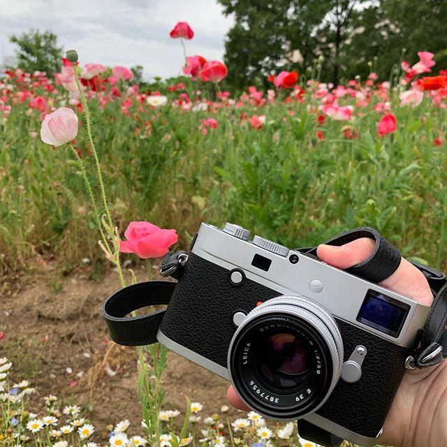 #シャーレーポピー #leica #ライカ #summicron50 #長居植物園 最短焦点距離70mmのレンズでお花の写真をたくさん!