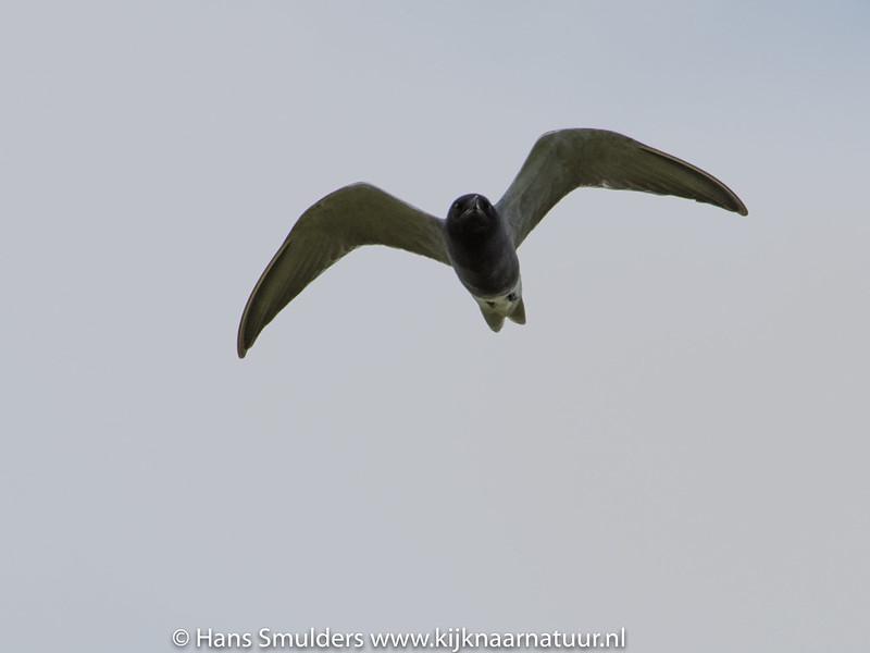 Zwarte stern (Chlidonias niger)-819_1875