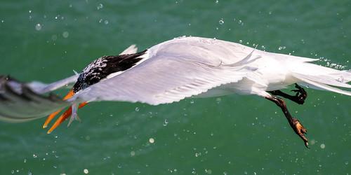 outdoor sky nature wildlife 7dm2 7d ii ef100400mm canon florida bird bif flight
