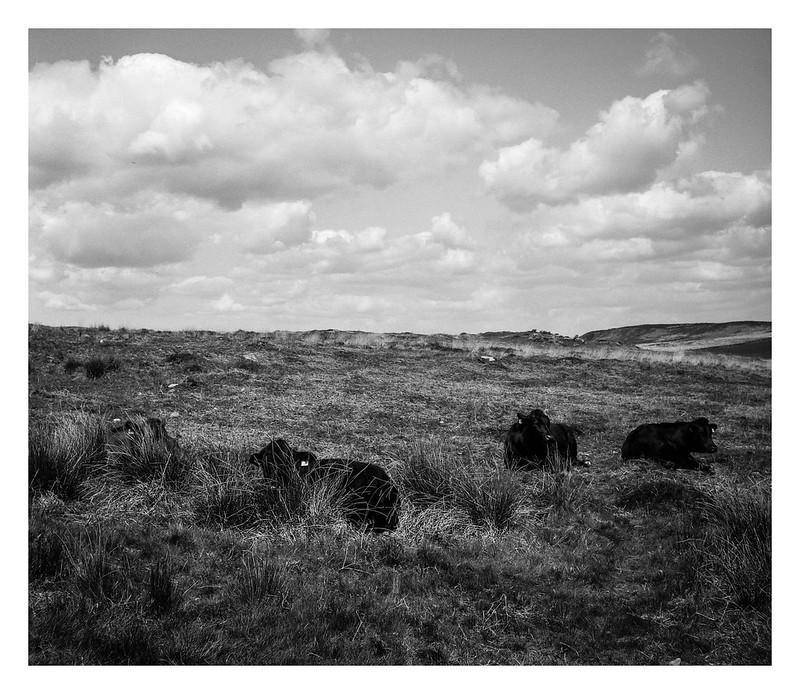 FILM - Curbar cows