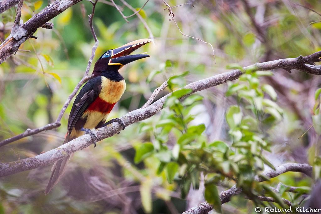 Aracari, Chestnut-eared