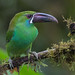 CA3I0310-Crimson-rumped Toucanet