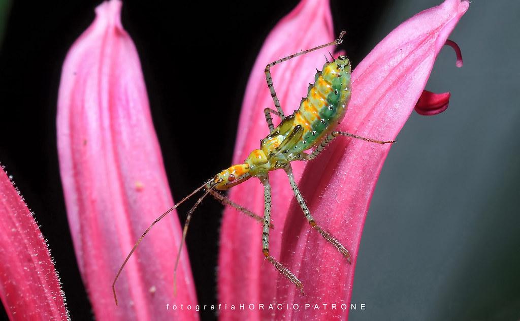 -HEMIPTERO  Leptoglossus occidentalis en un estadio de larva...desarrollando sus alas.botanico THAYS Argentina.