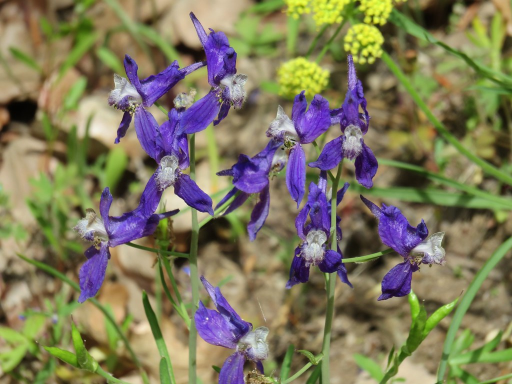 Larkspur and biscuitroot