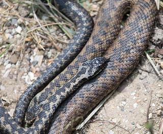 Adder, British Wildlife Centre