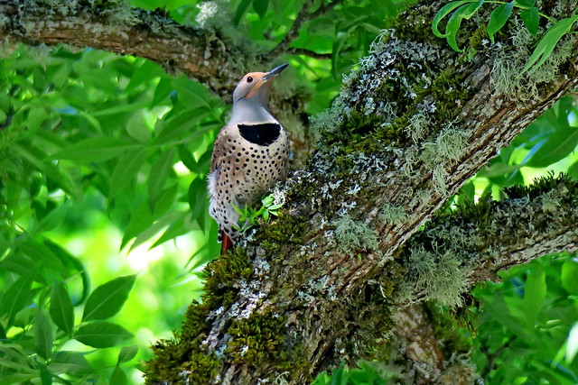 Northern Flicker, Issaquah, WA 5/18/19