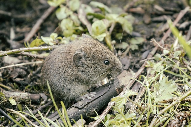 Bank Vole (Myodes glareolus) (formerly Clethrionomys glareolus)