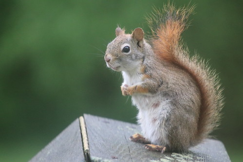 342/365/3994 (May 19, 2019) - Red Squirrels & Friends at the Birdfeeders (Saline, Michigan) - May 2019