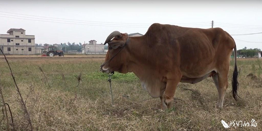 末代耕牛。