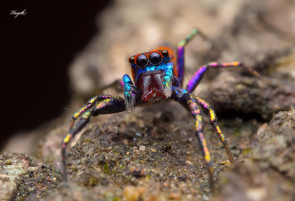 Chrysilla sp, one of the most striking jumping spiders