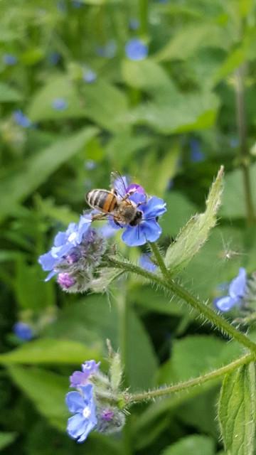 20190516  Honeybee (Apis mellifera)