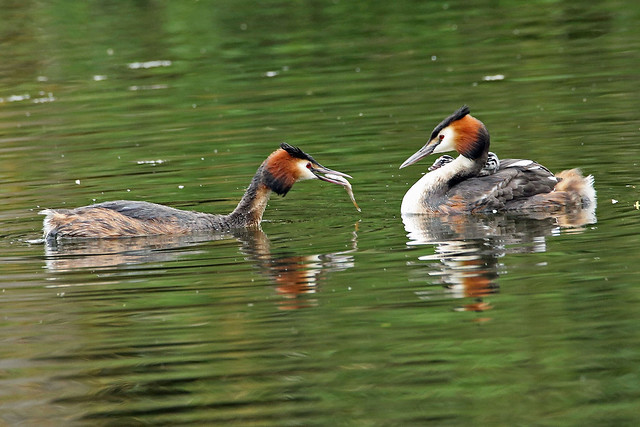 Great Crested Grebe Family.