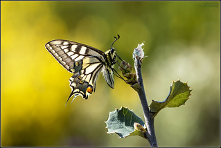 Papilio machaon_3400
