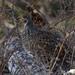IMG_0945 female dusky grouse