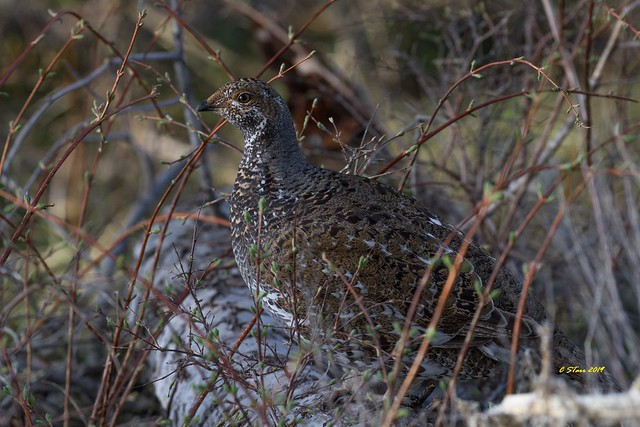 IMG_0945 female dusky grouse