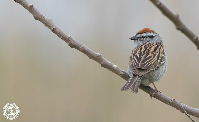 Chipping Sparrow - Spizella passerina