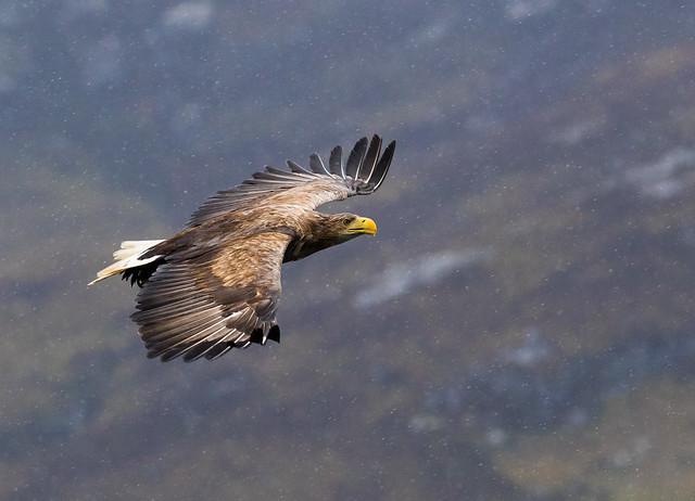 Sea Eagle2jpg