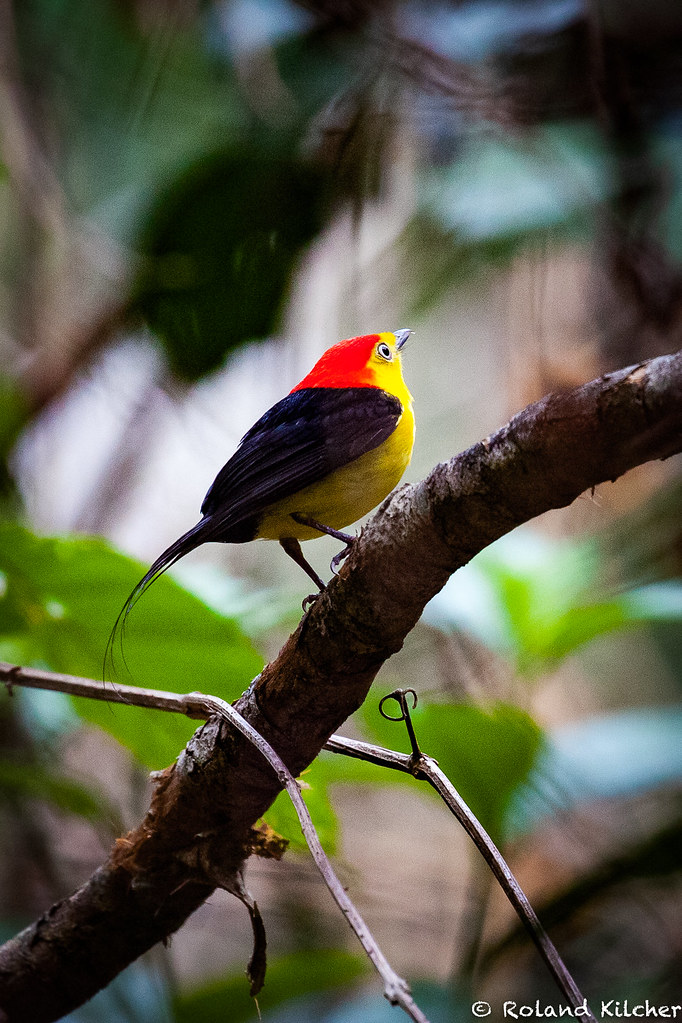 Manakin, Wire-tailed