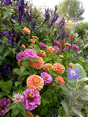 Zinnias & Salvia Amistad  OO VERY GOOD     08-28-17  ADJ  GOOD