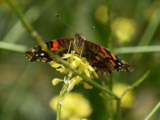 West Coast Lady Butterfly/Vanessa Annabella on Shortpod Mustard/Hirschfeldia incana - California Chaparral Flora and Fauna in Ramona, California on May 17, 2019