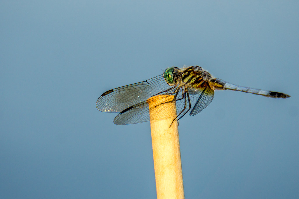 Just hanging on there (Blue Dasher)