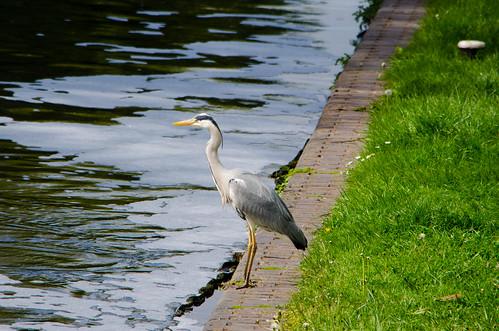 Heron by Wightwick Lock