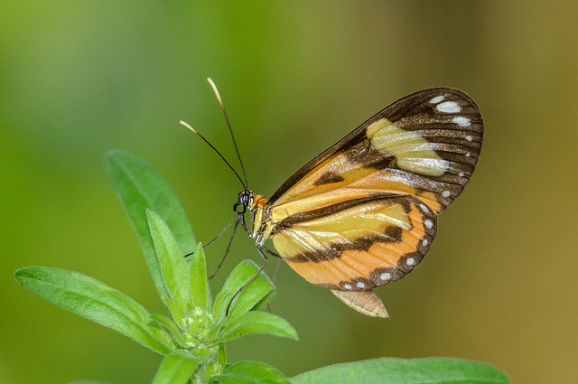 Ninonia Tigerwing - Hypothyris ninonia (Nymphalidae, Danainae, Ithomiini) 111s-7475