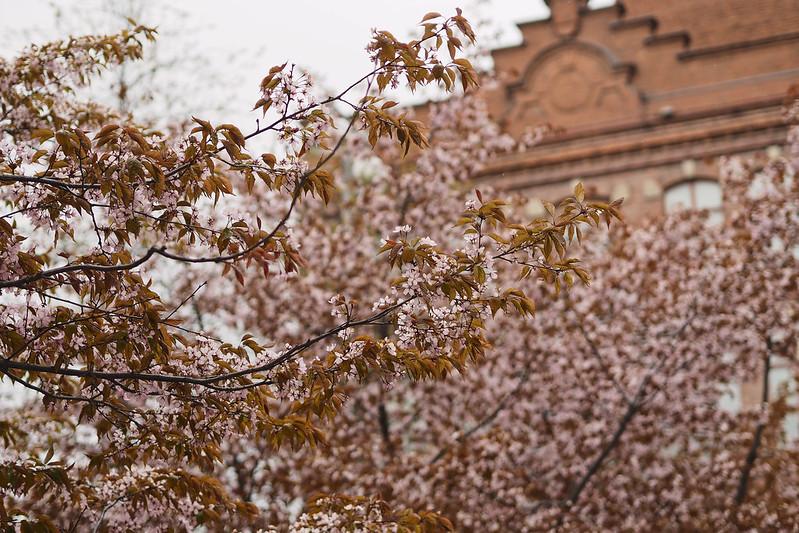 kirsikkapuu kirsikankukka frenckell