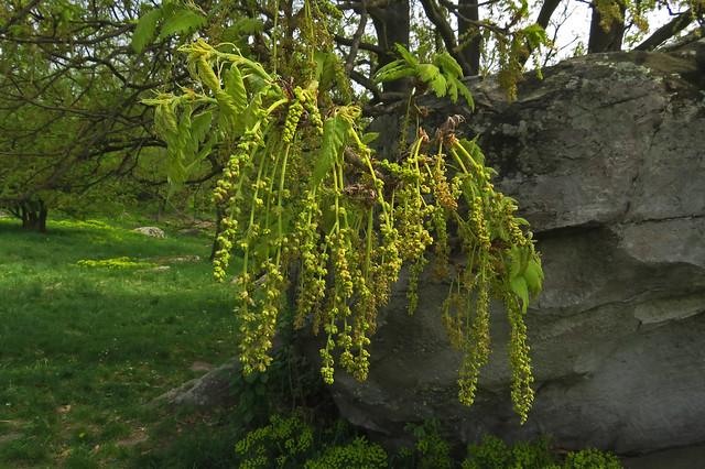 Quercus cerris in bloom